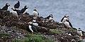 Atlantic Puffins (Fratercula arctica) - Elliston, Newfoundland 2019-08-13 (02).jpg