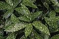 Aucuba japonica Gold Dust NBG LR.jpg