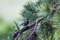 Audubon's warbler (48408008426).jpg