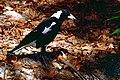 Australian Magpie (Gymnorhina tibicen) (9993562904).jpg