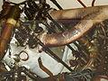 Automuseum Dr. Carl Benz Ladenburg - Flickr - KlausNahr (6).jpg
