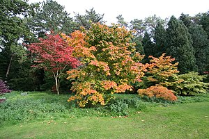 English: Autumn Maples There are several speci...