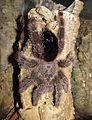 Avicularia cf. huriana - female 2.jpg