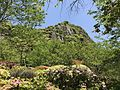 Azalea flowers in Mifuneyama Garden and Mount Mifuneyama 3.jpg