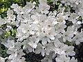 Azaleas (Newark, Ohio, USA) 1 (34493762011).jpg