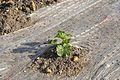 Bâches à plat agricoles dans un champ (5).JPG