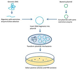 End-sequence profiling - Work flow of bacteria artificial chromosome construction