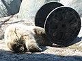 Baby Polar Bear.JPG