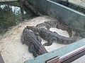 Baby crocodile 2.jpg