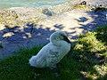 Baby swan @ Lake Annecy @ Port de Saint-Jorioz (50487966597).jpg