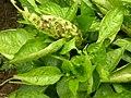 Bacterial leaf spot symptoms.jpg