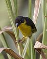 Baglafecht Weaver (Ploceus baglafecht) - Flickr - Lip Kee (1).jpg