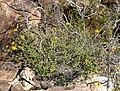 Bahiopsis parishii 3.jpg