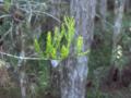 Bald-Cypress (2883842076).png