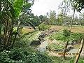 Banana trees in Bangladeshi village.jpg