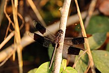 Band-winged dragonlet (Erythrodiplax umbrata) male.jpg