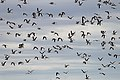 Banded Stilts and Red-necked Avocets (23869748453).jpg