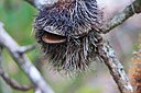 Banksia Serrata seedpod