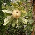 Banksia serrata HabitusInflorescene BotGardBln0806b.jpg