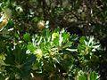 Banksia sessilis var. cygnorum-3.jpg
