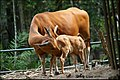 Banteng female with cow (Bos javanicus).jpg