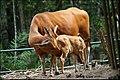 Banteng female with cow (Bos javanicus).jpg