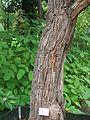 Bark Agonis flexuosa.JPG