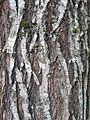 Bark of Italian hybrid elm cultivar Ulmus 'San Zanobi'.jpg