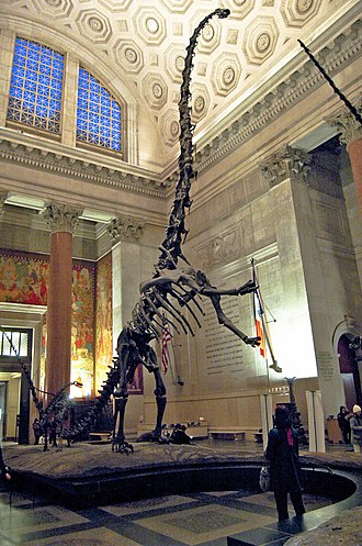 Sauropoda - Mounted skeleton of Barosaurus lentus, depicted in a rearing tripodal stance