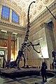 Barosaurus mount 1.jpg