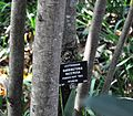Barringtonia racemosa, stamme, Laeveld NBT.jpg