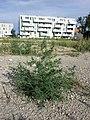 Bassia scoparia subsp. densiflora sl38.jpg