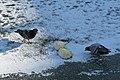 Bassin des Morts gelé, 2012-02-11, pigeons 01.jpg
