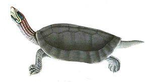 National Chambal Sanctuary - Critically endangered red-crowned roof turtle