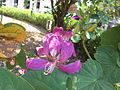 Bauhinia acuminata - ചുവന്ന മന്ദാരം 05.JPG