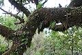 Baumveteran im Laurisilva von Madeira zwischen Paul da Serra und Fanal III.jpg