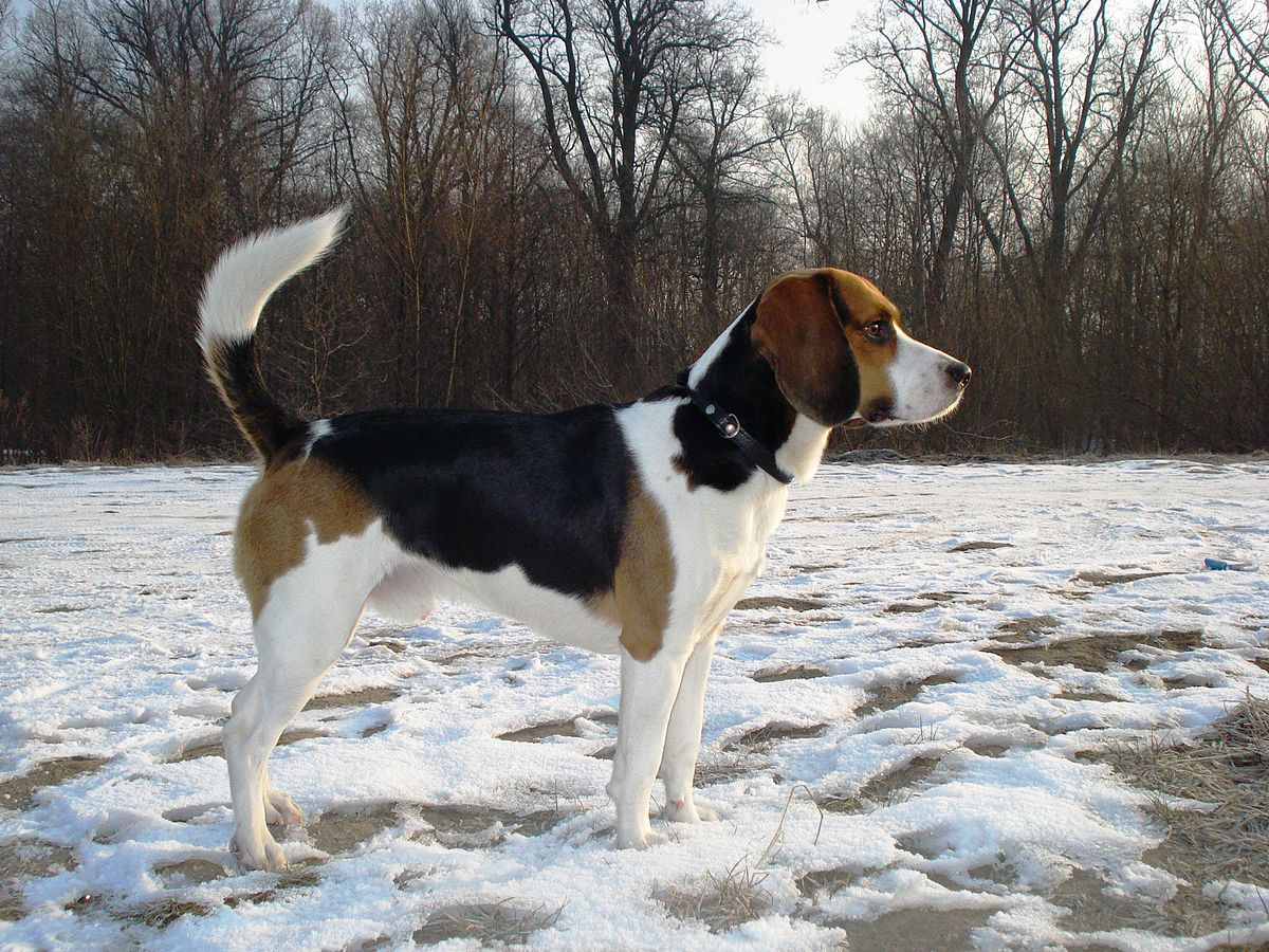Beagle-harrier — Wikipédia