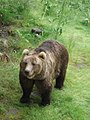 Bear-Ursus arctos-male-Polar Park Norway.jpg