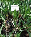 Bearded Iris plants growing in NJ in April.jpg