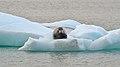 Bearded Seal 20130804 230751.jpg