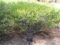 Beaufortia squarrosa.jpg