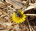 Bee. Male megachile (33107075706).jpg