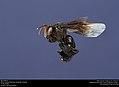 Bee (Apidae) (40539864472).jpg