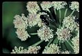 Bee on Ranger Buttons. Dated 101978. slide (3b08ce592b0e4fc18d16aaa6f309d21c).jpg
