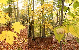 Beech-maple forest - A beech-maple forest with details of leaves (Cleveland Metroparks, Ohio).