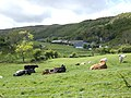 Beef cattle below Sugarloaf Hill - geograph.org.uk - 433499.jpg