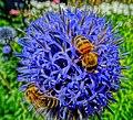 Bees - Flickr - Stiller Beobachter.jpg