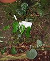 Begonia acetosa - Flora park - Cologne, Germany - DSC00746.jpg