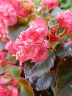 <i>Begonia cucullata</i> Species of plant