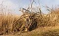 Bemoste, geteisterde boomstronken aan voetpad naar vogelkijkhut De Schollevaar. Locatie, Oostvaardersplassen 05.jpg
